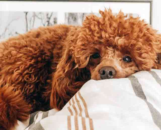 Poodle Grooming Tips