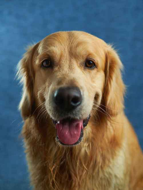 Examples of Single Coat Dog Breeds and Double Coated Dogs